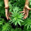 Luksemburg prvi u Evropi legalizuje uzgajanje i upotrebu kanabisa 14