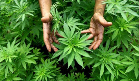 Luksemburg prvi u Evropi legalizuje uzgajanje i upotrebu kanabisa 13