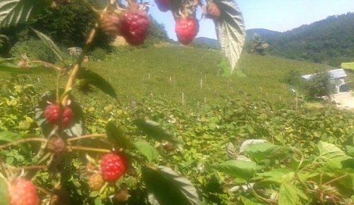 Asocijacija malinara Srbije: Sneg naneo veliku štetu malinama 2