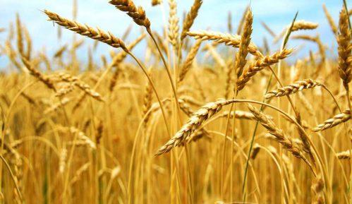 Kosovo iz centralne Srbije uvozi mesečno oko 5.000 tona pšenice i simbolične količine brašna 2