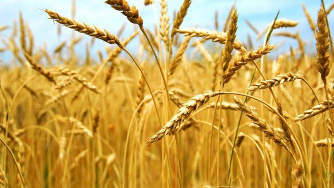 Kosovo iz centralne Srbije uvozi mesečno oko 5.000 tona pšenice i simbolične količine brašna 4