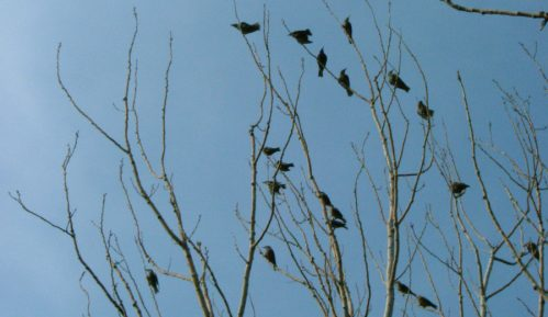 Društvo za zaštitu ptica: Kod Bačke Topole otrovano 18 ptica i životinja 3