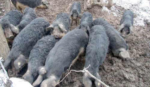 """Nekada """"boinge"""" plaćali kuvanom šunkom, sada uvozimo svinje 15"""