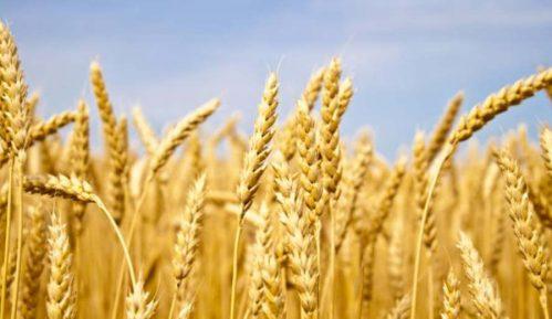 Ljajić: Problem izvoza pšenice rešen kratkoročno 10