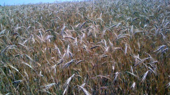 Malešević: Suša ozbiljno preti pšenici, biljna proizvodnja neizvesna 1