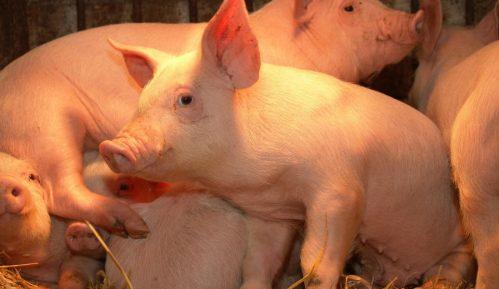 Ministarstvo upozorava na rizik od bolesti afričke kuge svinja 9