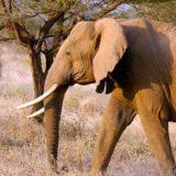 Slon ubio turistu 7