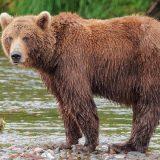 Po kuršumlijskim selima slobodno šetaju jeleni, vukovi i medvedi - meštani u strahu 7