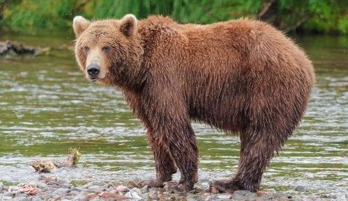 Drugi napad medveda u Sloveniji ove godine, lovac lakše povređen 3