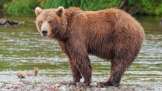Drugi napad medveda u Sloveniji ove godine, lovac lakše povređen 1