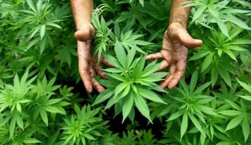 Marihuana sakrivena u braniku 15