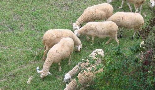 Prvih 3.000 jagnjadi kreće za Kinu 5