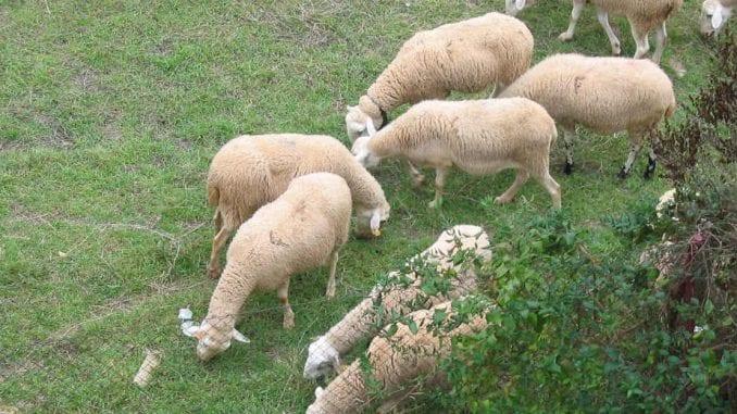 Prvih 3.000 jagnjadi kreće za Kinu 4