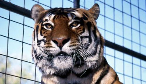 Radnica zoo vrta u Engleskoj stradala od napada tigra 12