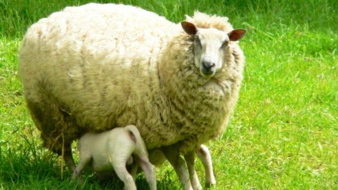 Ishrana jagnjadi u dojnom periodu 1