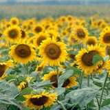 Poljoprivrednici: Kukuruz i suncokret manje razvijeni zbog zakašnjenja setvi i nedostatka sunca 8