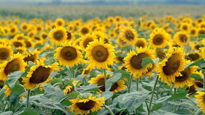 Suša ugrožava nicanje kukuruza, soje i suncokreta i rast pšenice u Srbiji 3