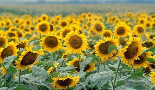 Republika Srpska zabranila uvoz semenki suncokreta iz Srbije 1