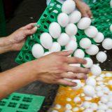 Hapšenja u Holandiji zbog zatrovanih jaja 8