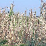 Zbog suše četiri puta manji rod kukuruza 12