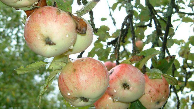 Ren i jabuke našli put do ruskog tržišta 1