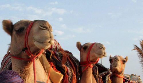Diskvalifikovane kamile sa takmičenja za lepotu 4