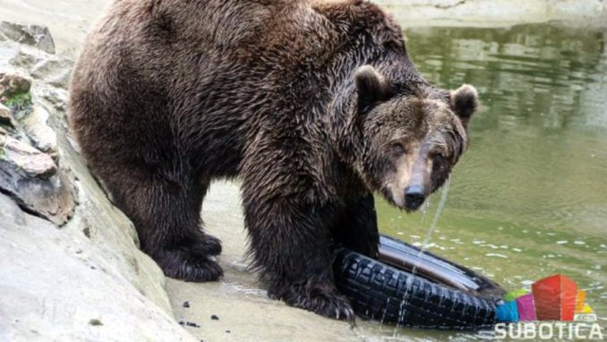 Medvedi na Paliću izašli iz jazbina; da li je kraj zime? 6