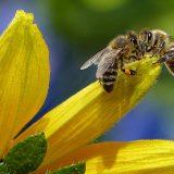 Medonosna pčela nezamenjiva u oprašivanju više od polovine svetskih zasada 9