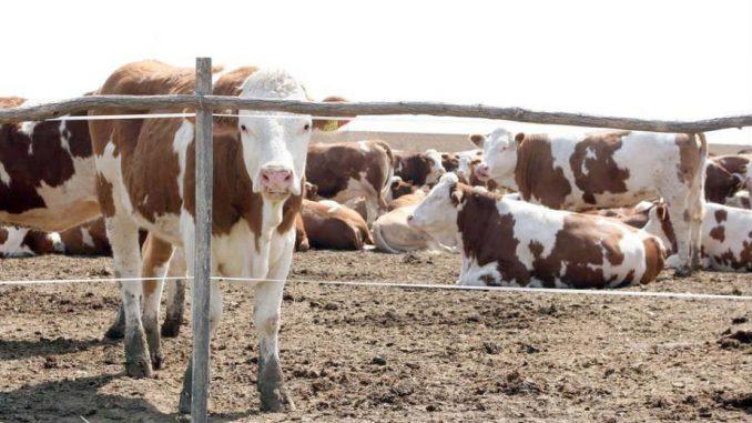 Država dala 240 miliona evra za stočarstvo, rezultata nema 3
