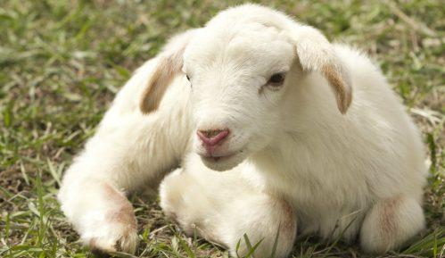 Naučnici stvorili hibrid ovce i čoveka 2