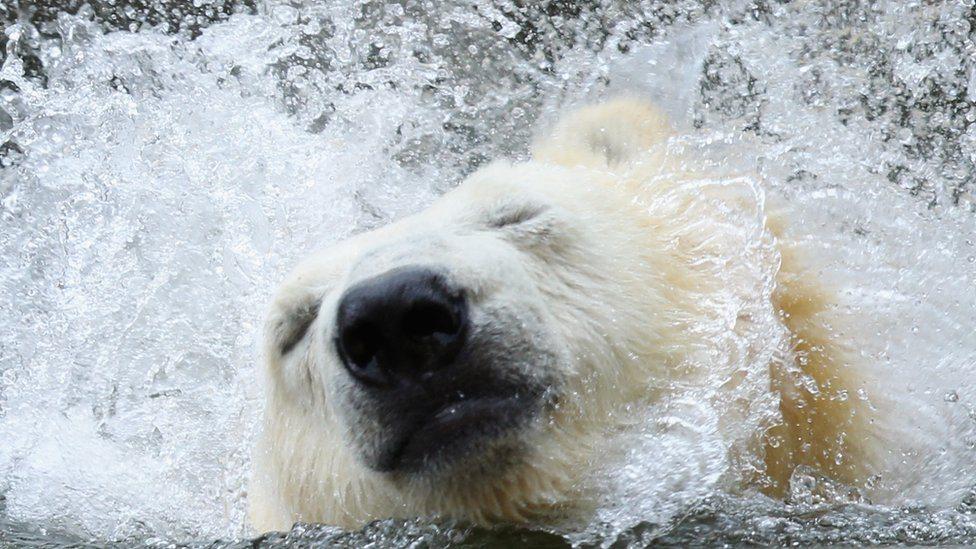Beli medved