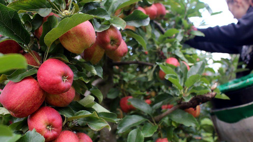 Voćnjak pun jabuka