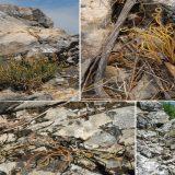 Otkrivena nova vrsta biljke na obroncima Stare planine 12