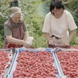 Malinari iz zapadne Srbije zadovoljni ponuđenom cenom 11