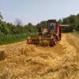 Kasni žetva pšenice 9