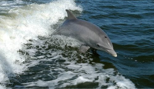 Mogu li delfini da tuguju? 6