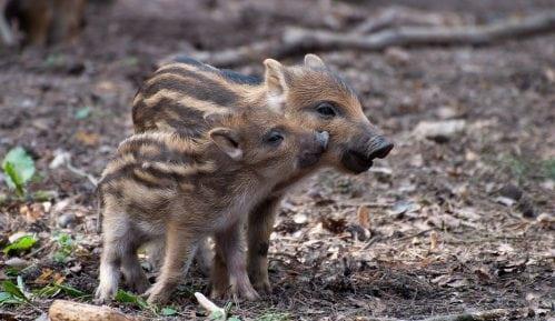 Zelena stranka: Šta se dešava sa divljim svinjama? 1