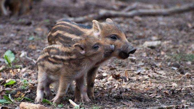 Danska: Ograda na granici sa Nemačkom zbog divljih svinja 1