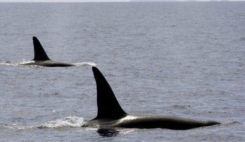 Rusija će osloboditi nezakonito zarobljene kitove 4
