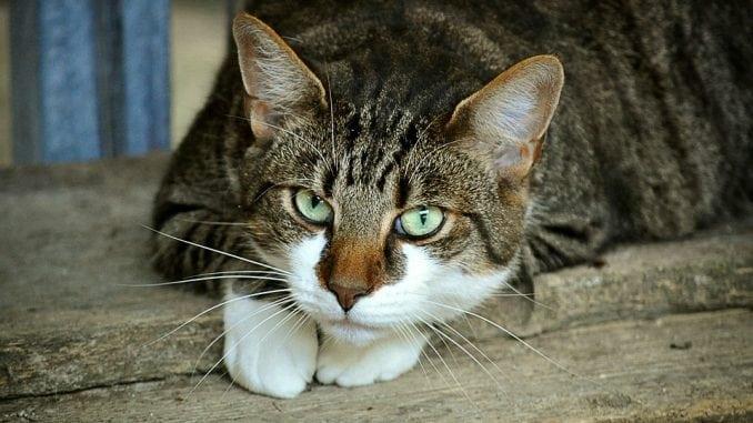 Koje su posledice udisanja dima kod mačaka? 1