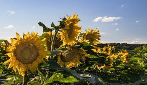 U Srbiji se očekuje prosečan rod suncokreta, a rekordan soje i kukuruza 2