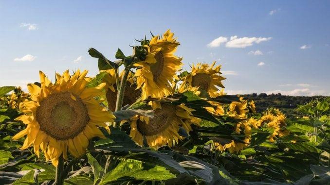 U Srbiji se očekuje prosečan rod suncokreta, a rekordan soje i kukuruza 1