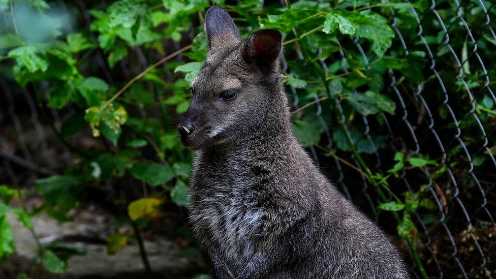 Kengur iz ZOO vrta u Skoplju