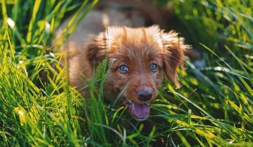 Zašto psi ponekad jedu travu? 9