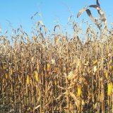 Proizvođači i stručnjaci: Rod kukuruza manji do 50 odsto 12