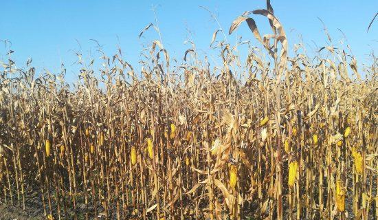 Proizvođači i stručnjaci: Rod kukuruza manji do 50 odsto 14