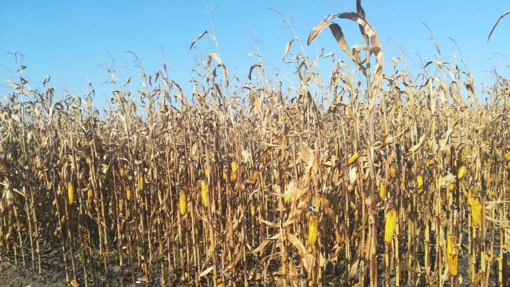 Kiša spasila ovogodišnji rod kukuruza od propasti zbog suše 1