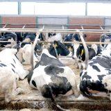 Samostalni sindikat poljoprivrede Srbije: Država nije obavezala Al Dahru da ne smanjuje broj krava 10