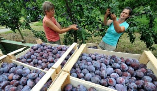U Srbiji najviše zasada pod šljivom, a najbolje rodile jabuke 1