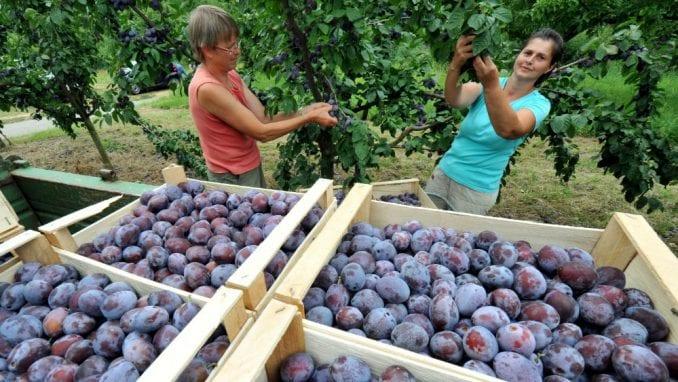 Selaković (PKS): Izvoz šljive na Bliski istok je šansa za srpske proizvođače 1